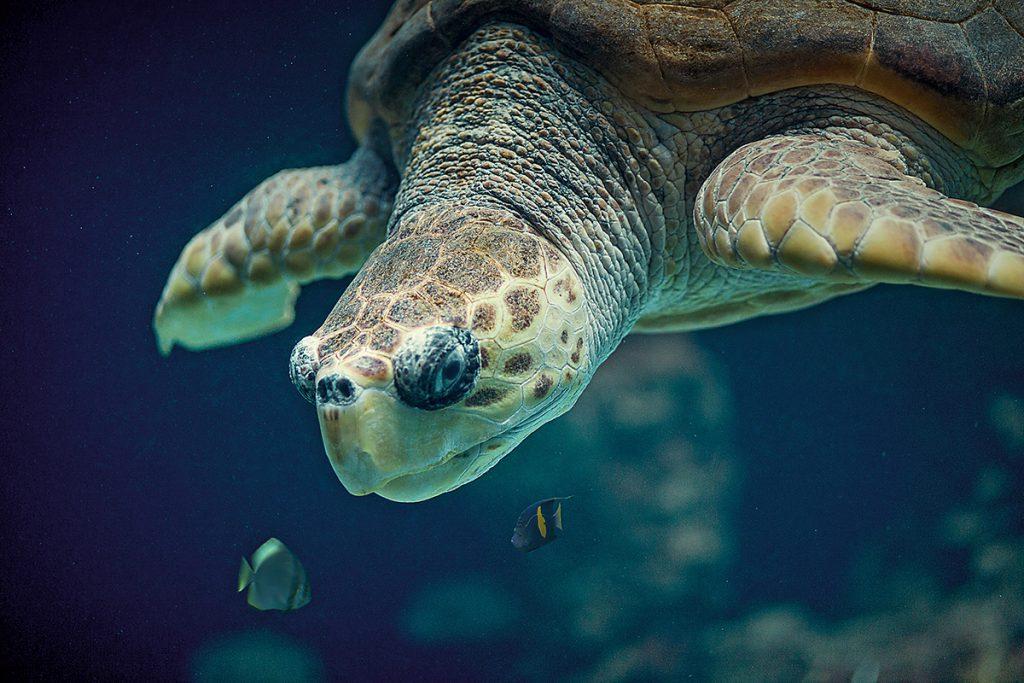 Schwimmende Schildkröte