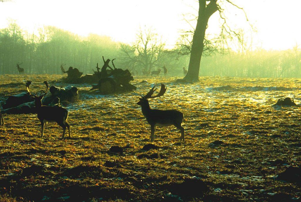 Hirsche im Putbuser Schlosspark
