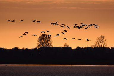 Fliegende Kraniche am Abend